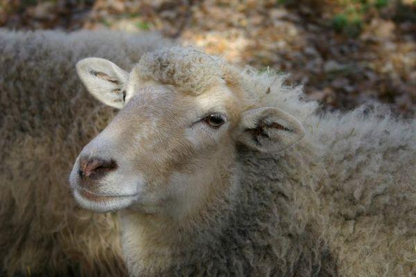 ich... bin ein liebes Schaf!