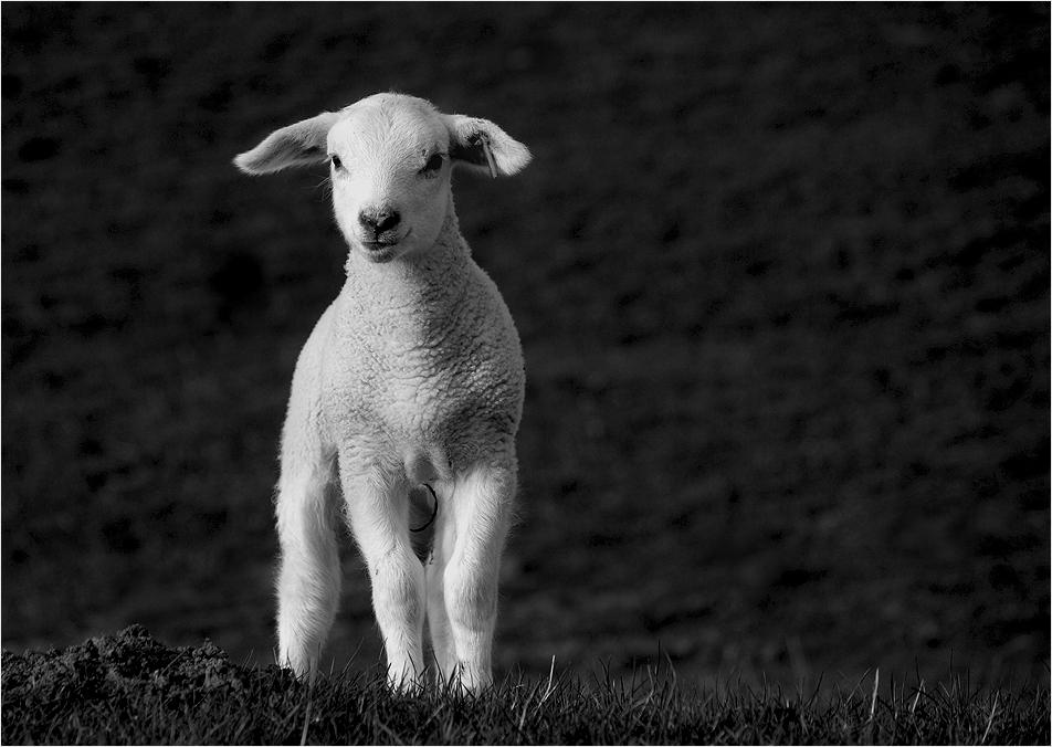 """""""ich bin ein Schaf und ich steh dazu"""""""
