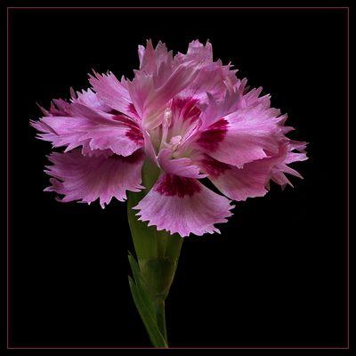 Ich bin eine Federnelke Dianthus plumarius Maggie