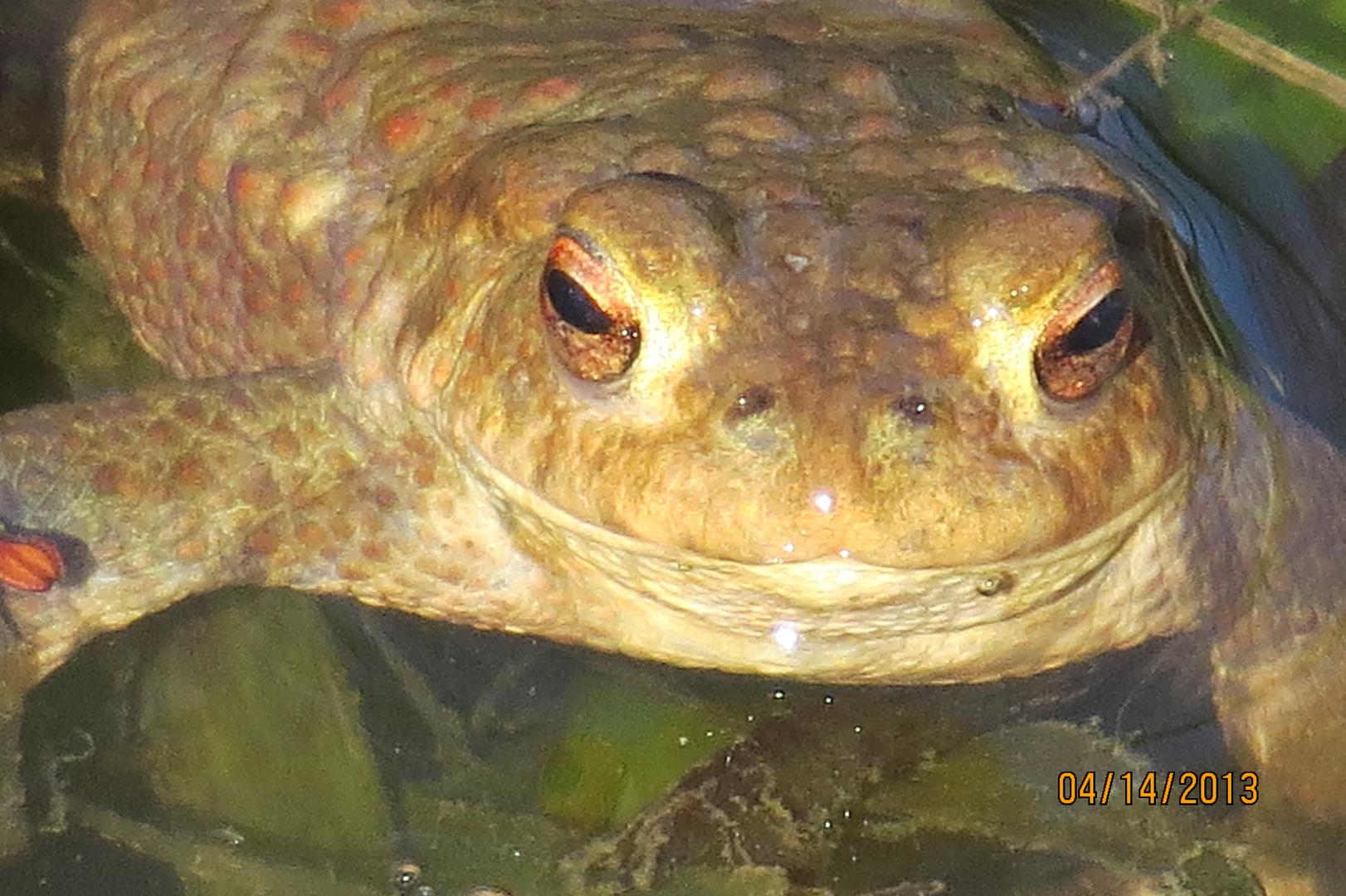 Ich bin eine Kröte