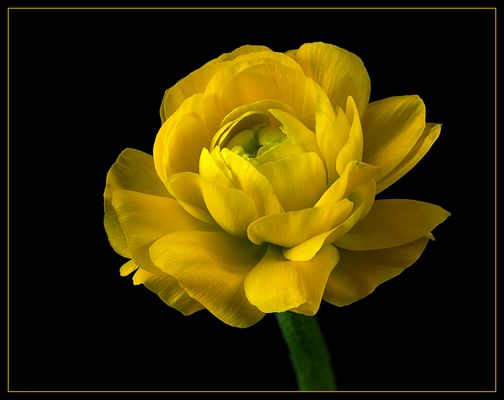 Ich bin eine Ranunkel .. und beeindrucke durch meine zarten Blätter im schönstem Gelb