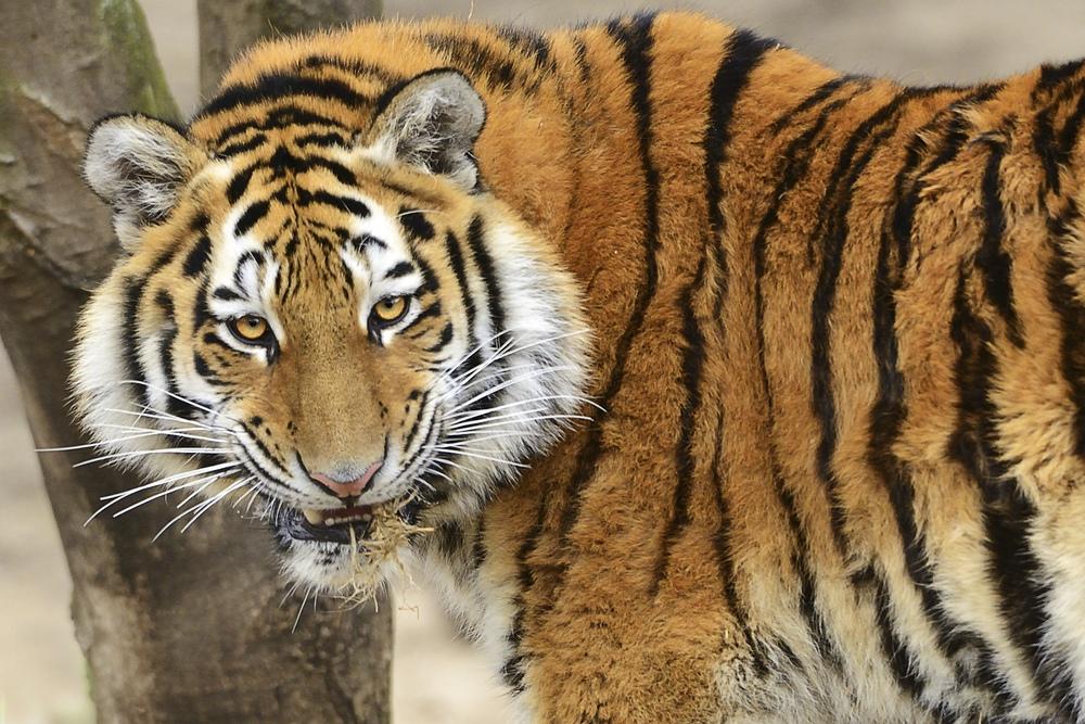 Ich bin so zuversichtlich wie der Tiger
