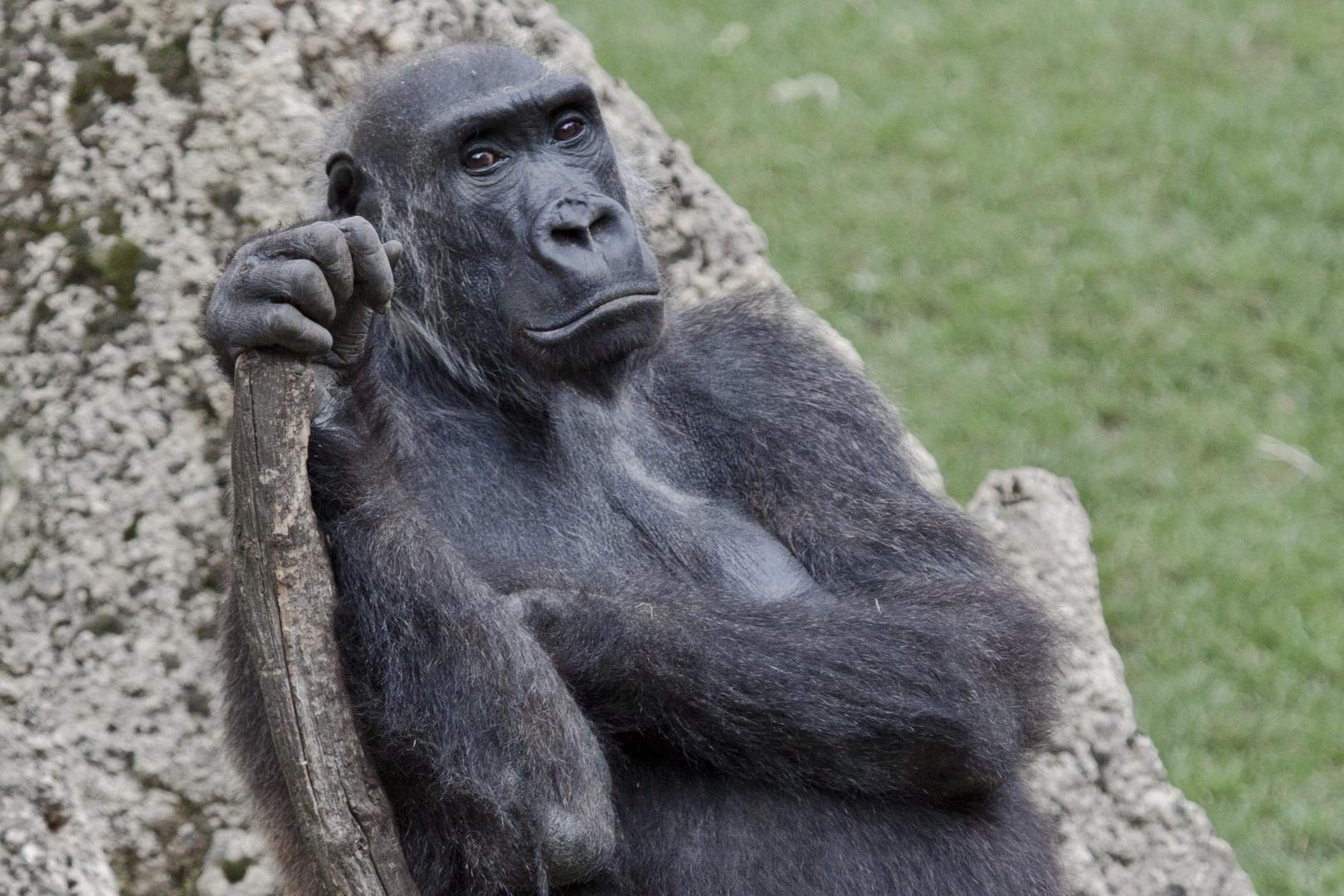 Ich frage mich bei den Gorillas immer, wer hier wen betrachtet!