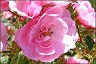Ich freue mich auf Rosen