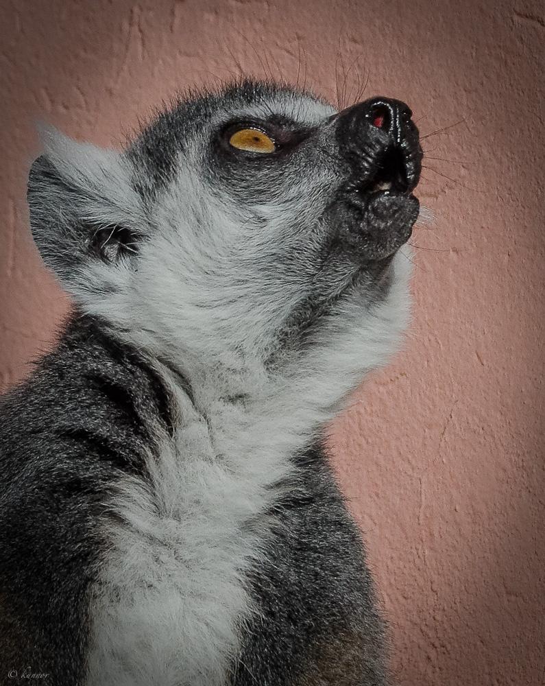 ich fühl mich wie ein Wolf #1