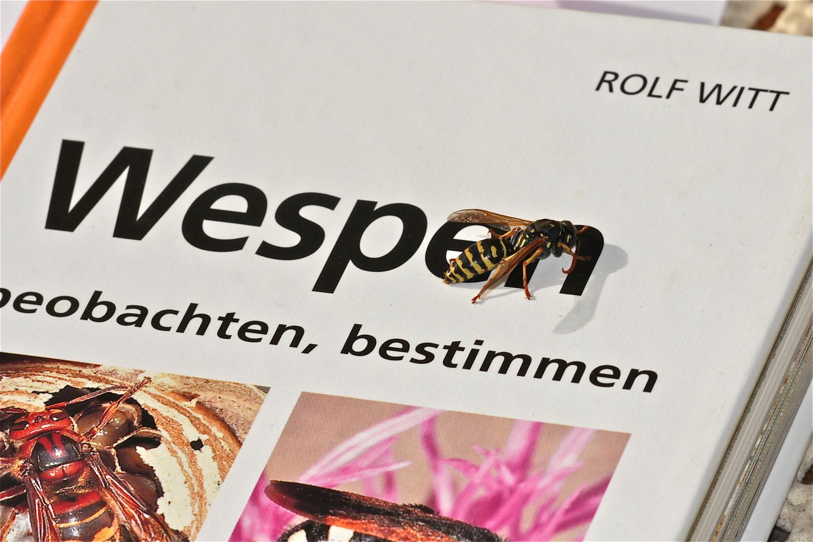 Ich glaub', Insekten können doch lesen! Polistes-Feldwespe auf ihrem Bestimmungsbuch . . .