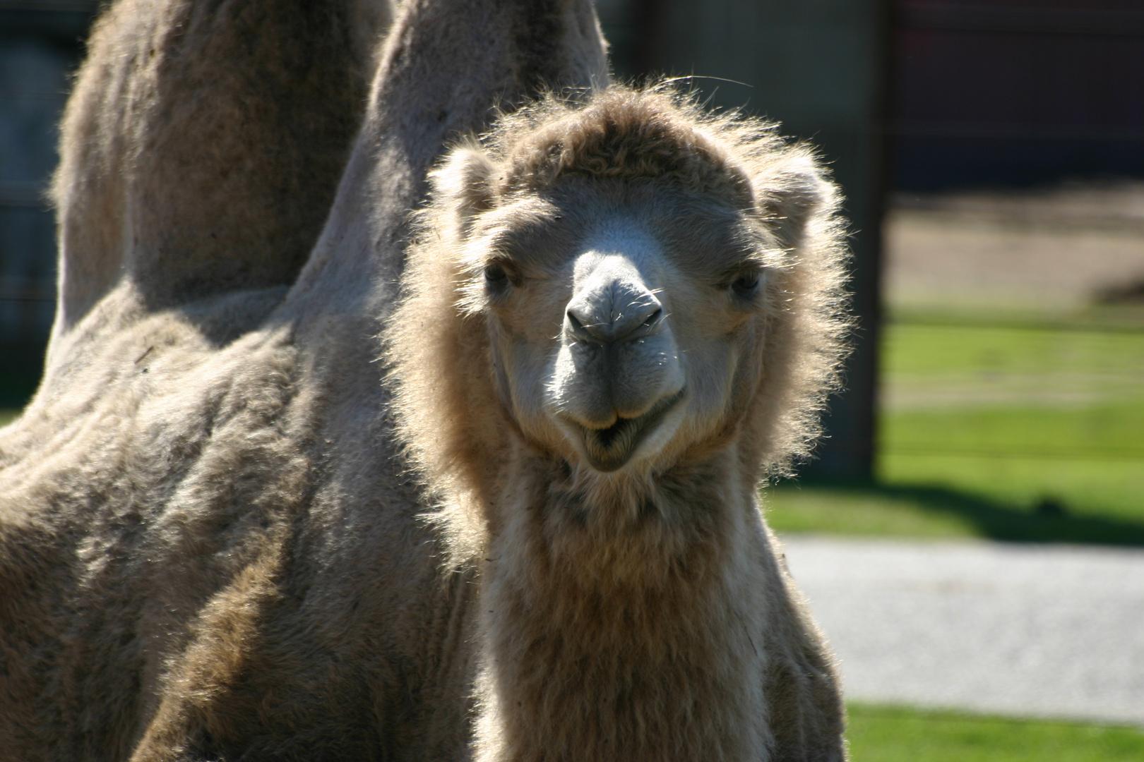Ich glaub mich knutscht ein Kamel ?!