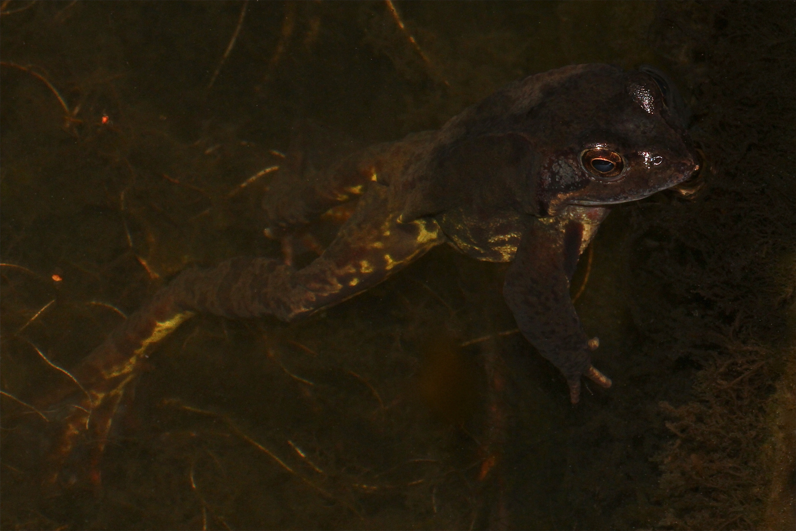 Ich glaube, man sieht bei diesem Grasfrosch schon die beginnende Paarungsfärbung . . .