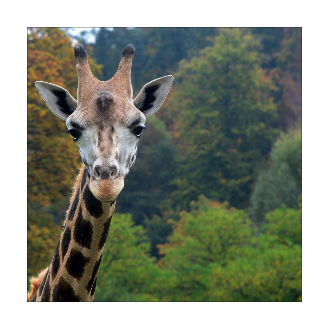 Ich hab Giraffen...