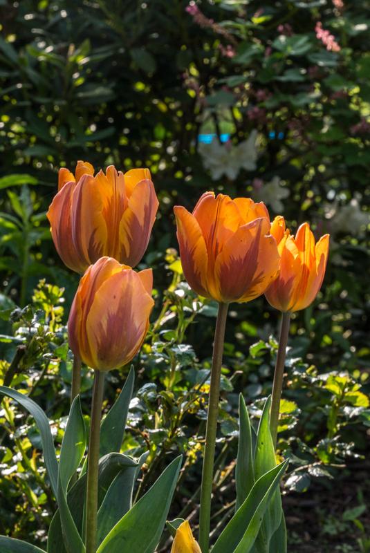 Ich habe noch Tulpen!
