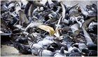 Ich hasse Tauben