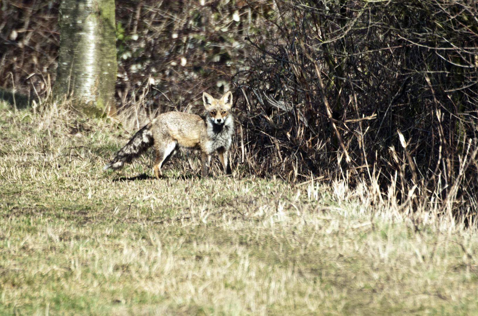 Ich hatte einen Vogel im Sucher als ploetzlich der Fuchs vor mir stand