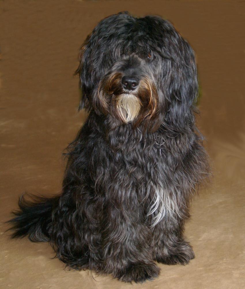 Ich heiße Benny und bin ein Tibet-Terrier