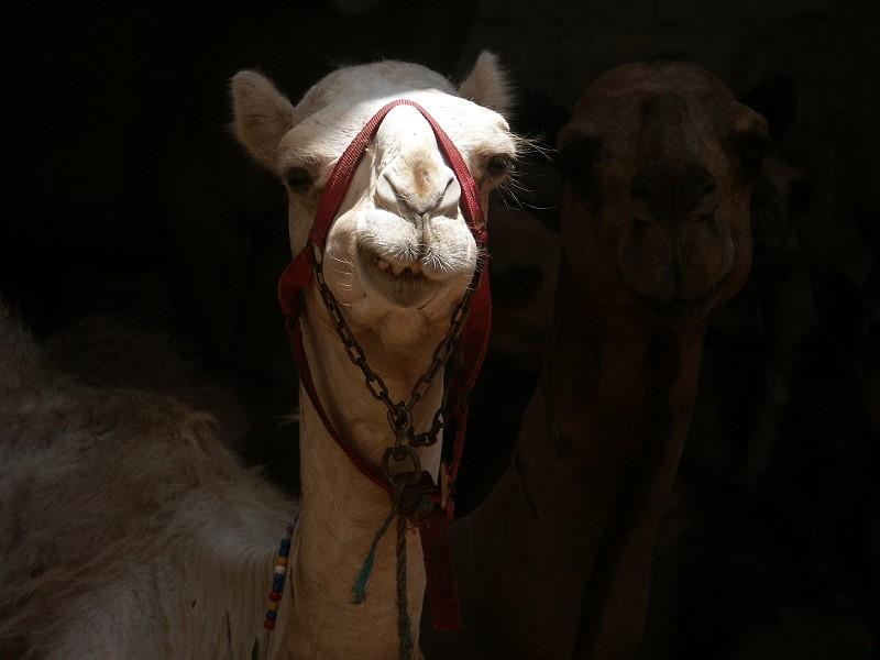 Ich Kamel...