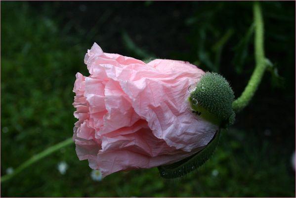 ich komm vom rosa Mohn nicht los ;-)