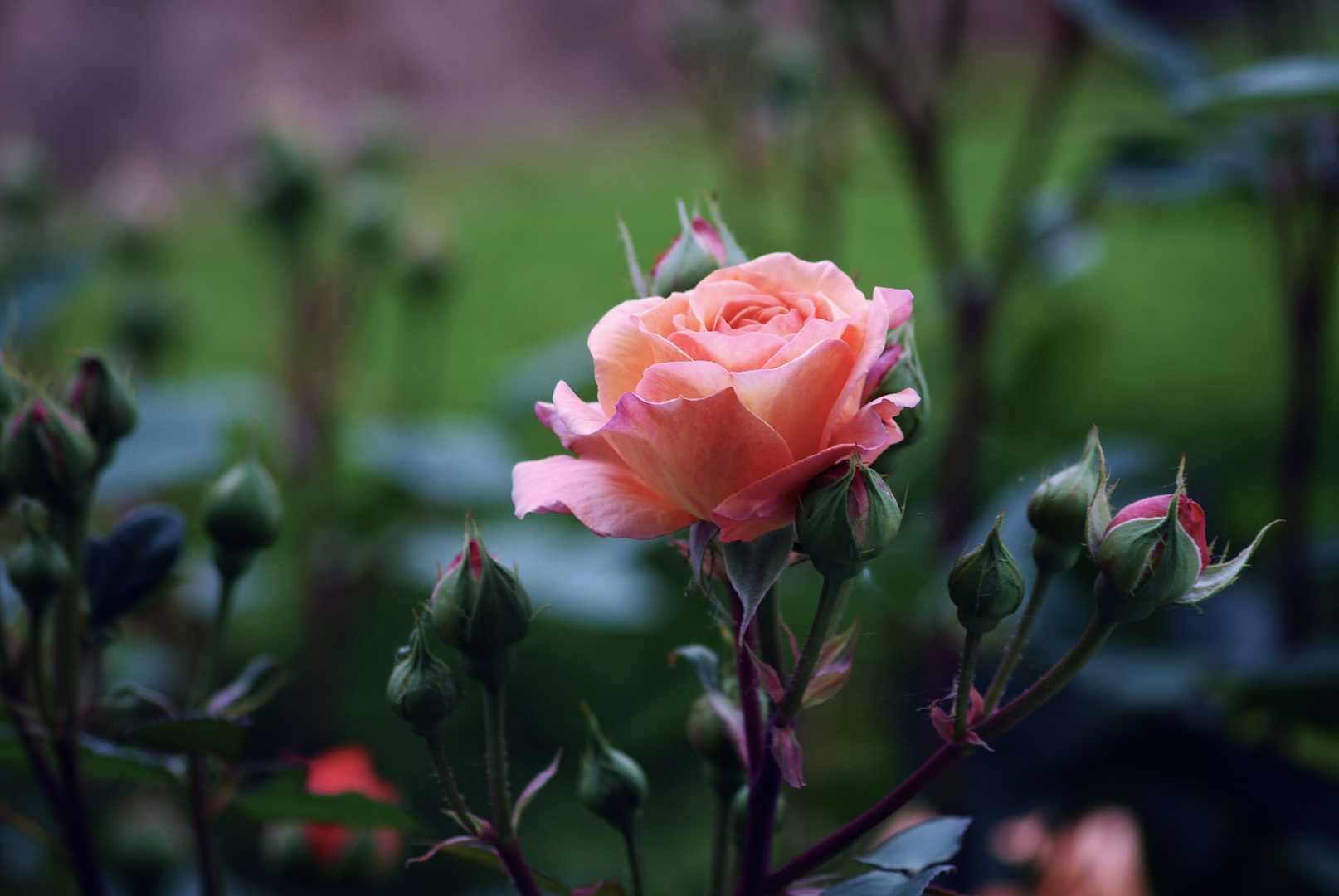 Ich komme immer wieder auf die Rosen zurück ...