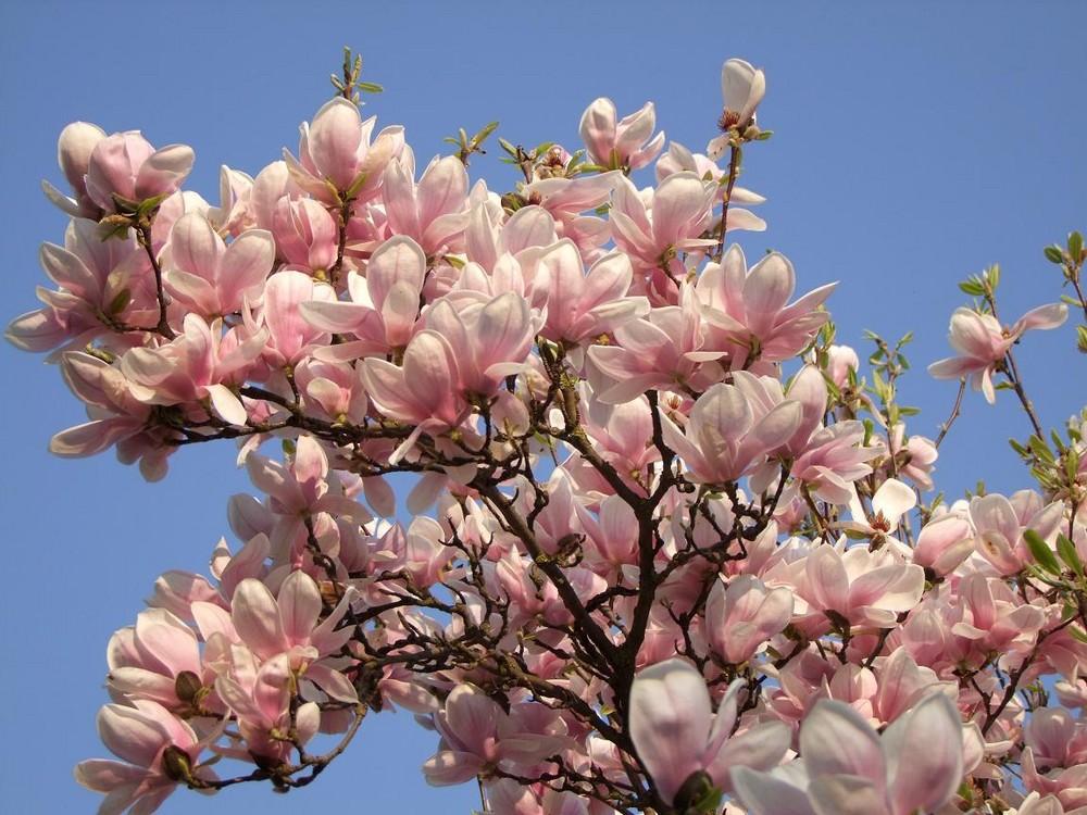 ich lag unter dem magnolienbaum foto bild pflanzen. Black Bedroom Furniture Sets. Home Design Ideas