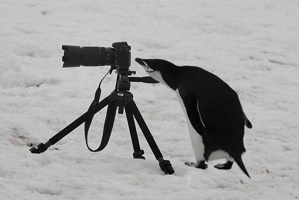 Ich lasse arbeiten! Zügelpinguin, Antarktis