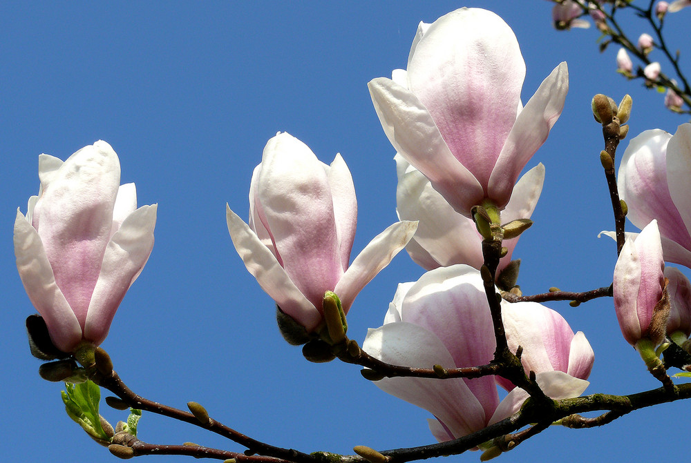 ich liebe magnolien foto bild pflanzen pilze. Black Bedroom Furniture Sets. Home Design Ideas