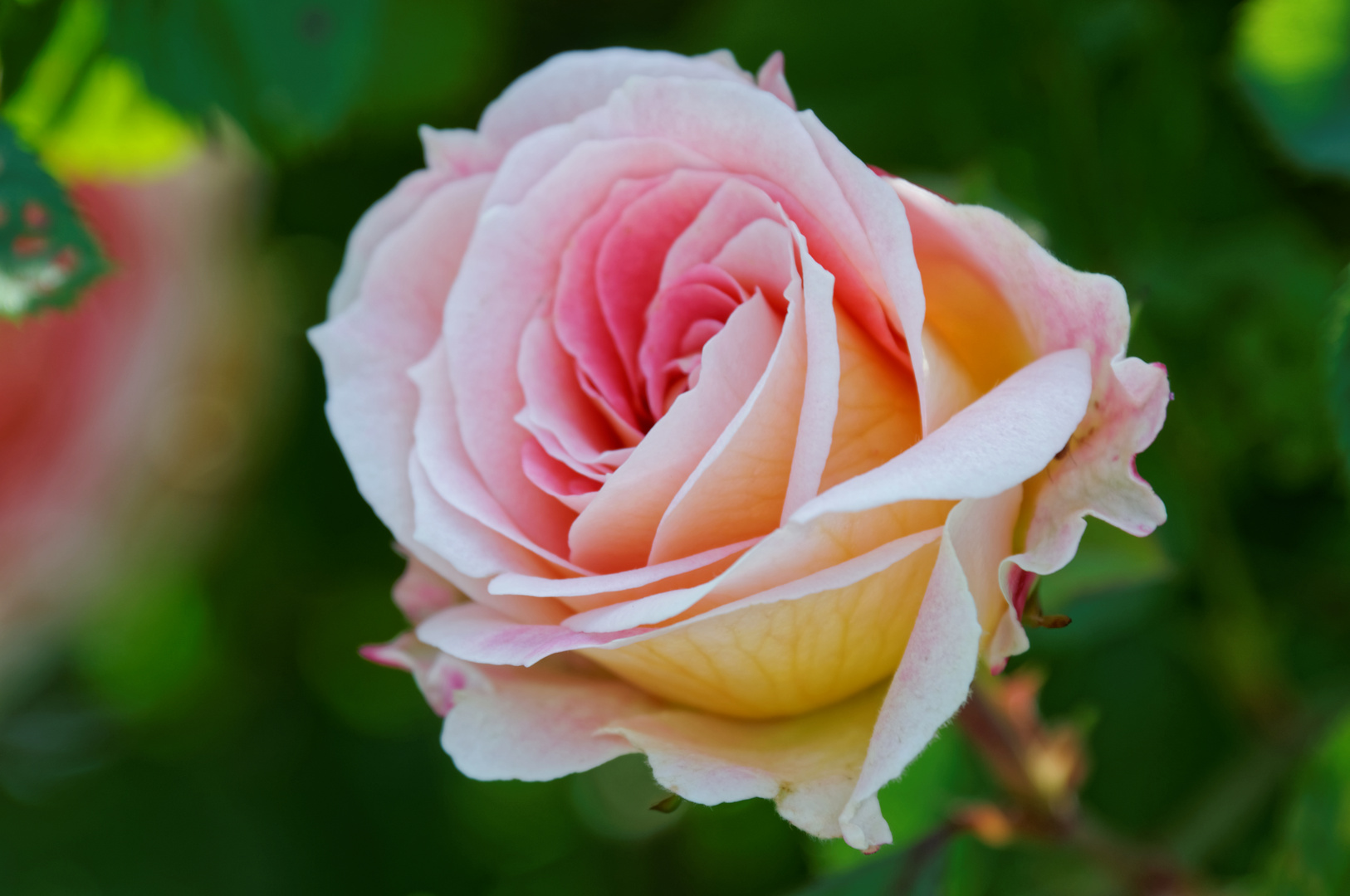 ich liebe rosen foto bild pflanzen pilze flechten bl ten kleinpflanzen rosen. Black Bedroom Furniture Sets. Home Design Ideas