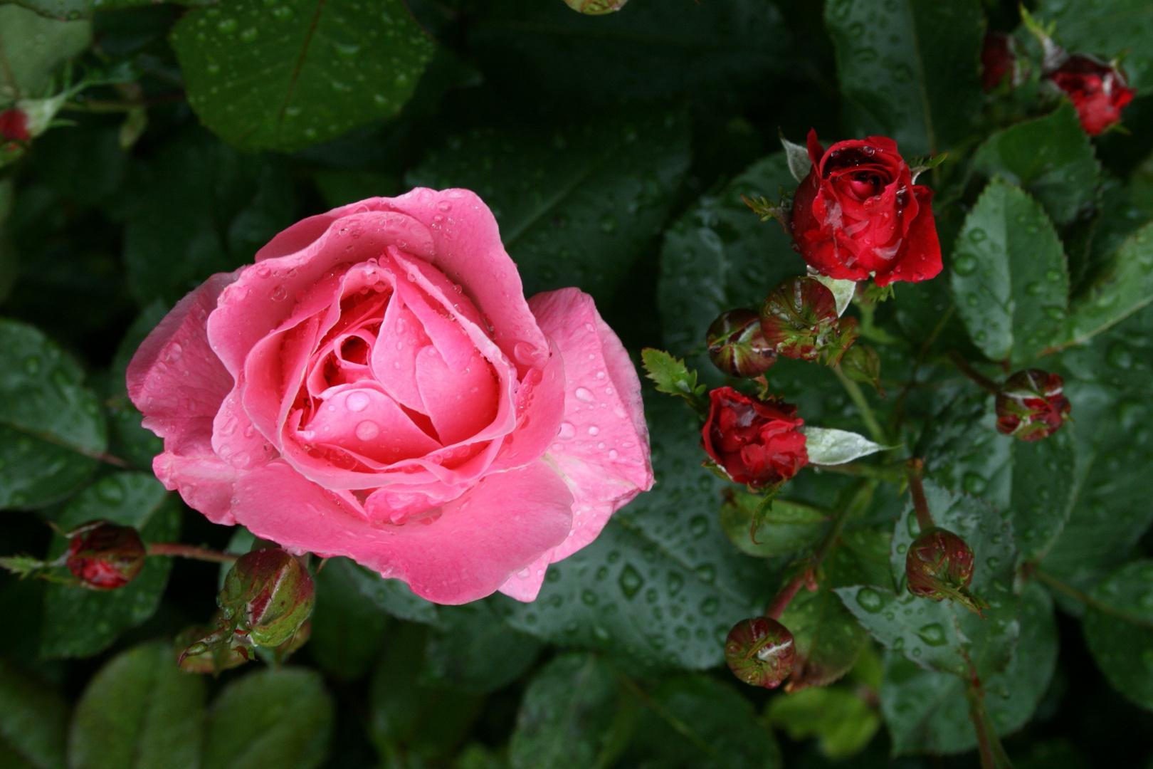 ich mag auch Rosen !
