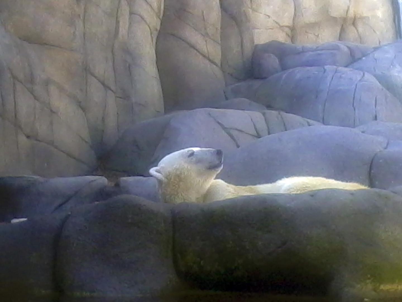 Ich möchte ein Eisbär sein ...