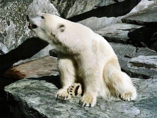 Ich möchte ein Eisbär sein am kalten Polar....