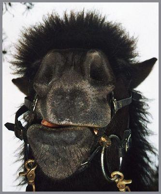 Ich nix sein Kamel!