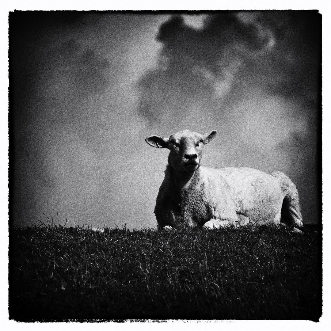 ich Schaf !