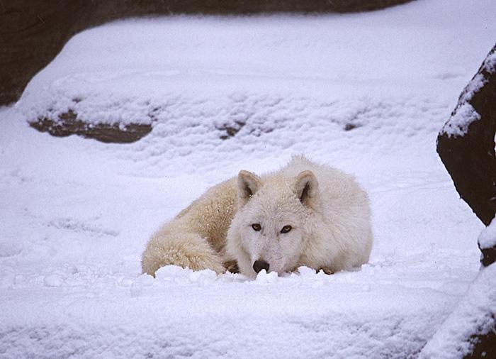 Ich seh Dich - Polarwolf