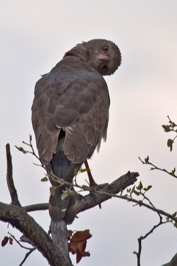 Ich sehe dich! Singhabicht Etosha Namibia 15.10.2009
