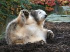 Ich wär viel lieber ein Braunbär!