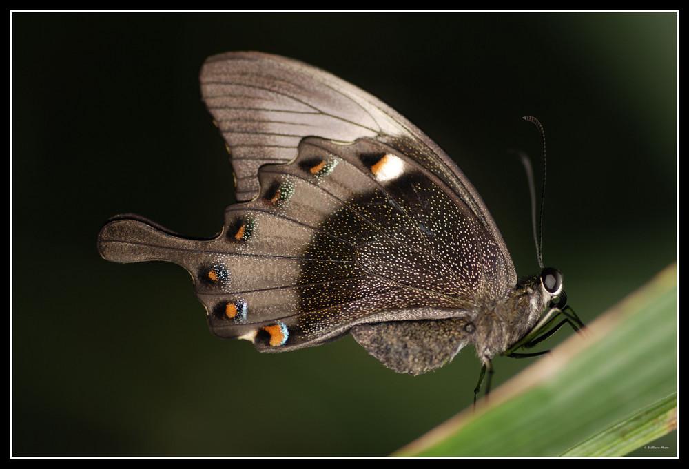 Ich weiß schon wieder ein Schmetterling