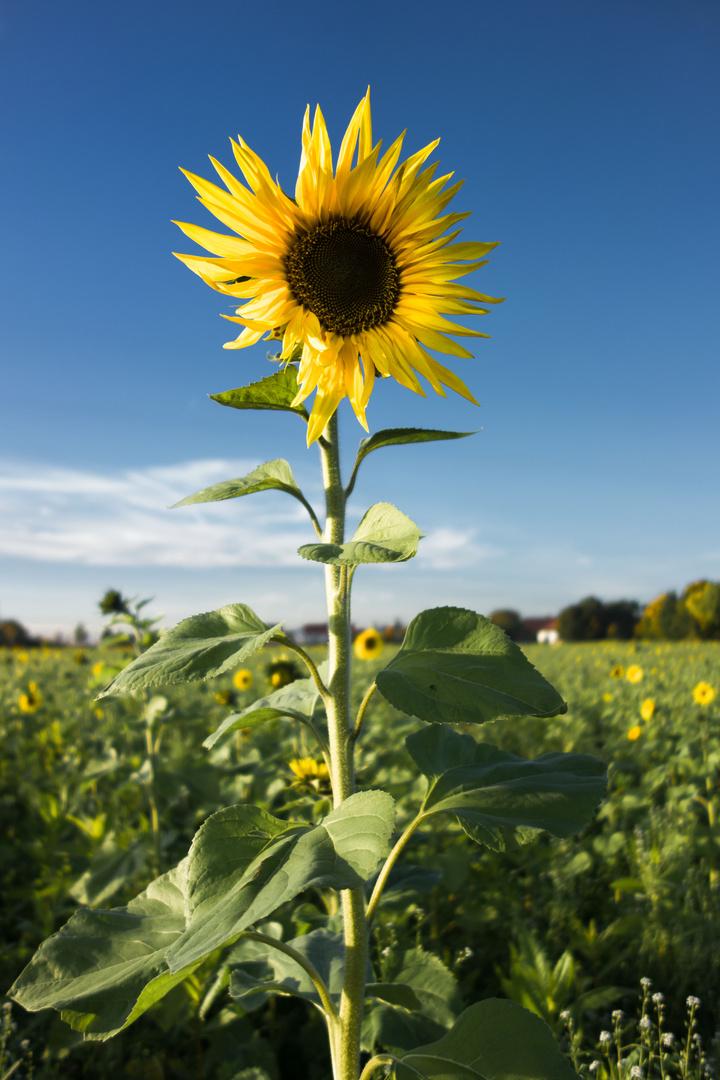 Ich will deine Sonne sein