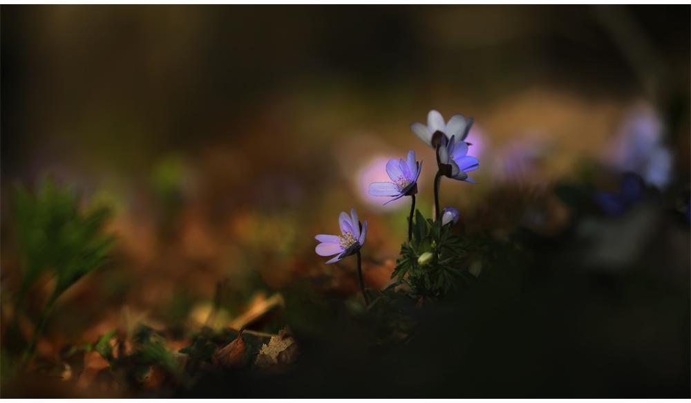ich wollt doch nochmal die schönen Leberblümchen zeigen:-)