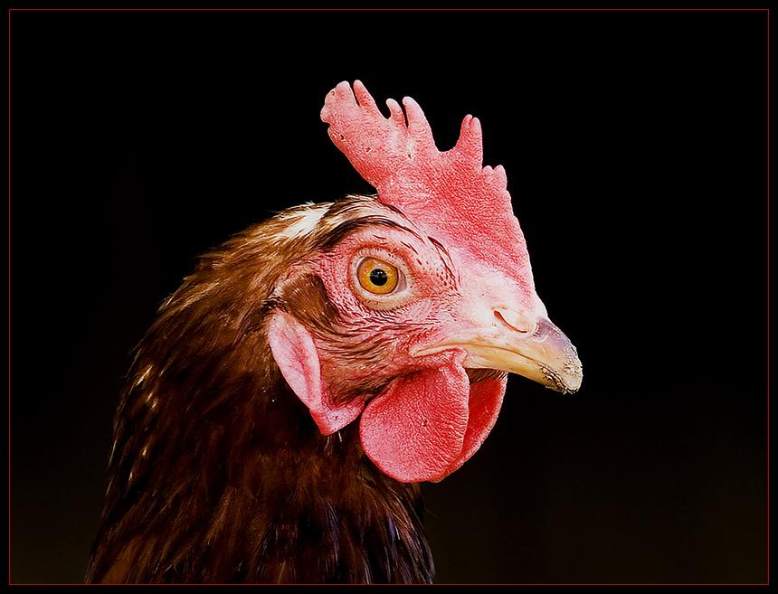 Ich wollt ich wär ein Huhn ...