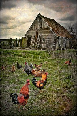 ich wünscht' ich wär ein Huhn ...