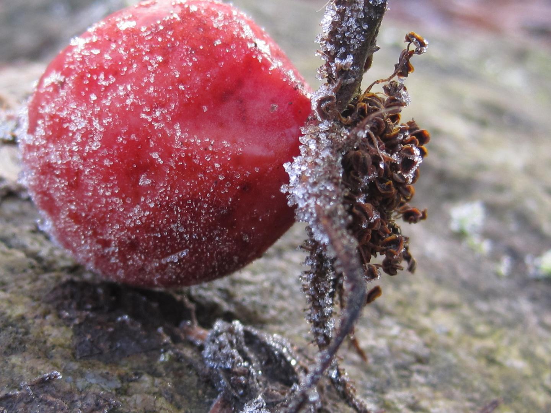 icy berry