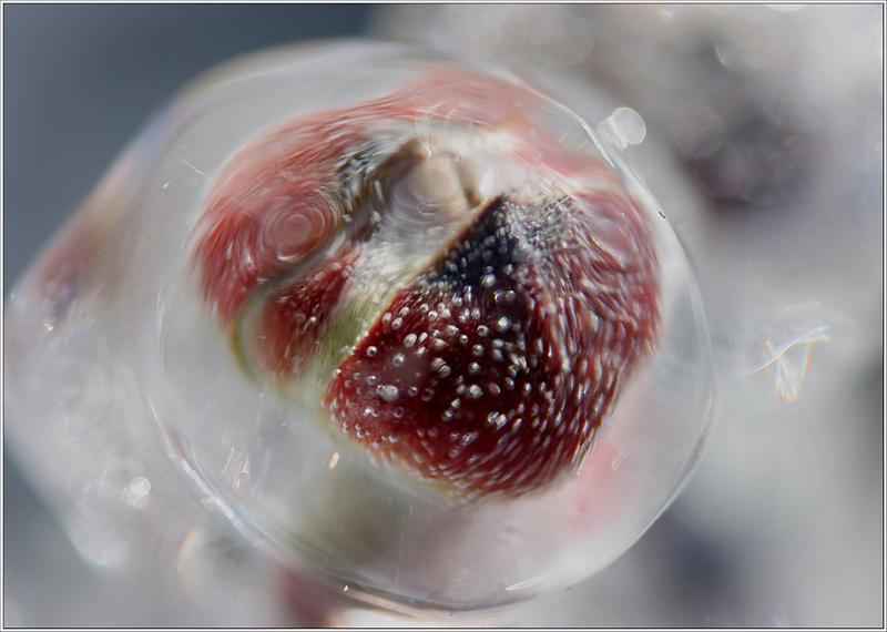 icy bud