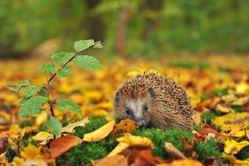 igel herbst foto bild tiere wildlife s ugetiere bilder auf fotocommunity. Black Bedroom Furniture Sets. Home Design Ideas