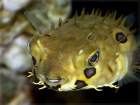 Igelfisch (Chilomycterus spinosus)