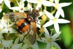 Igelfliege (Tachina fera)