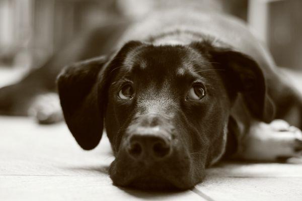 Igor, chien perdu dans ses pensées