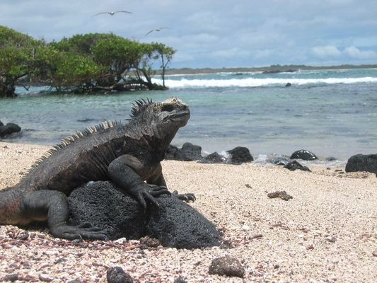 Iguana auf den Galápagos Inseln, Isabela
