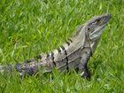 Iguana Costarricense