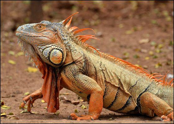 iguana crestata