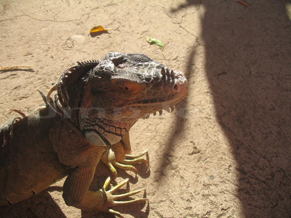 Iguana Gigante