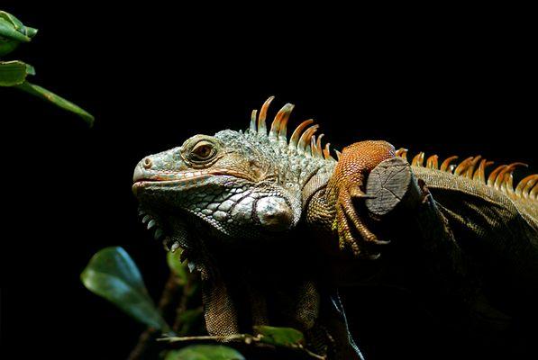 | Iguana iguana |