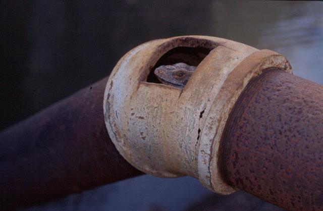Iguana iguana im Rohr