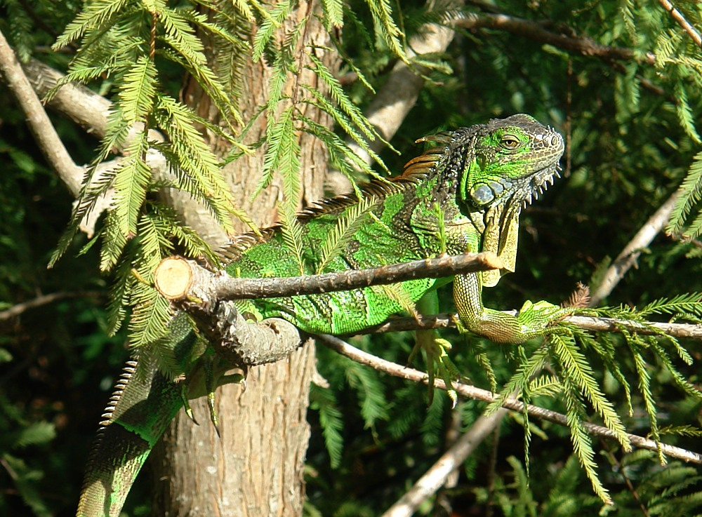 Iguana in freier Natur in Florida / Fort Myers